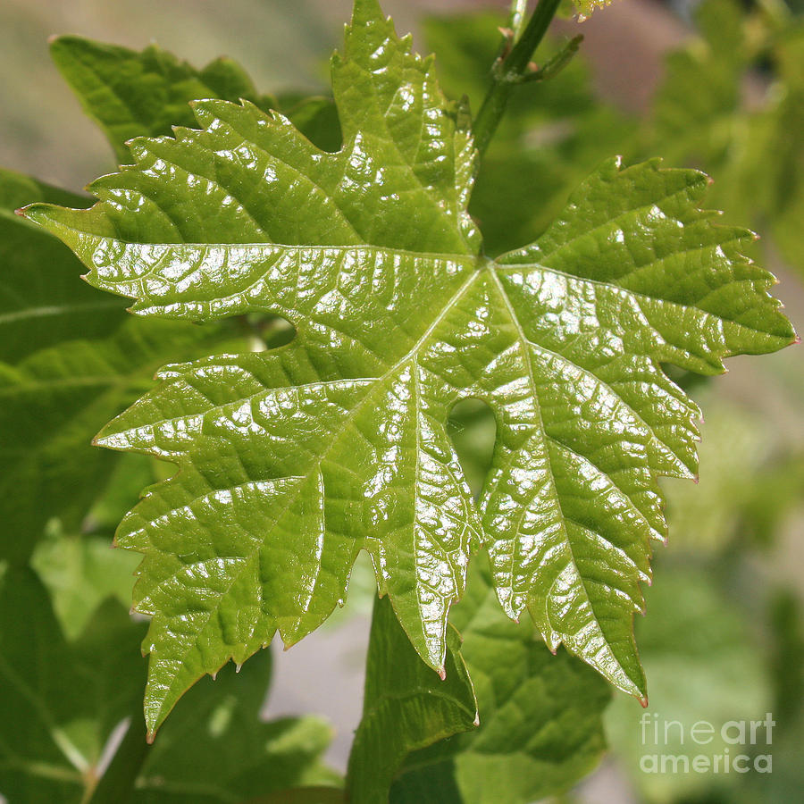 Spring Grape Leaf Photograph  - Spring Grape Leaf Fine Art Print