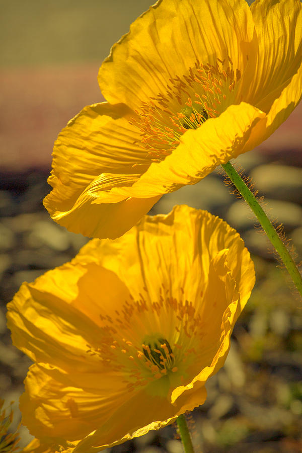 Spring In Yellow Photograph  - Spring In Yellow Fine Art Print