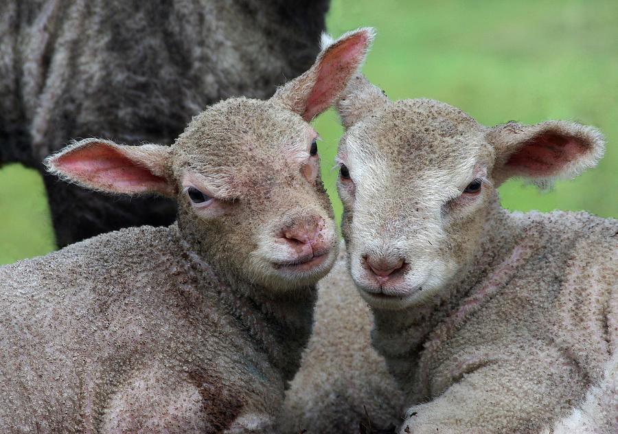 Lambs Photograph - Spring Lambs by Pete Hemington