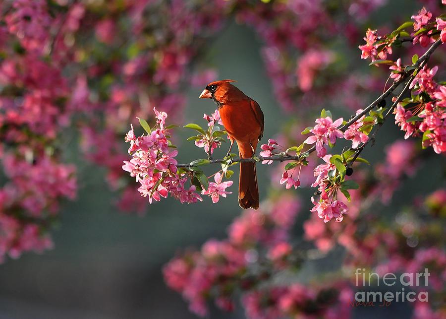 Spring Morning Cardinal Photograph