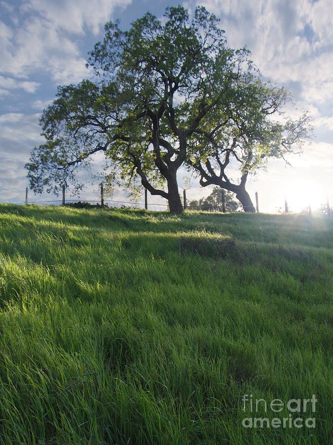 Spring Photograph - Spring Oaks by Stu Shepherd