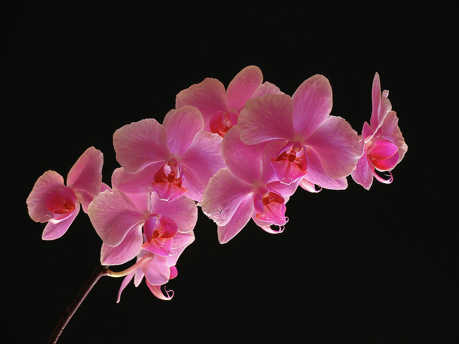 Spring Orchids Photograph