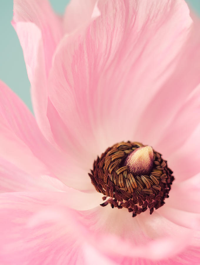 Ranunculus Photograph - Spring Pink by Amy Weiss
