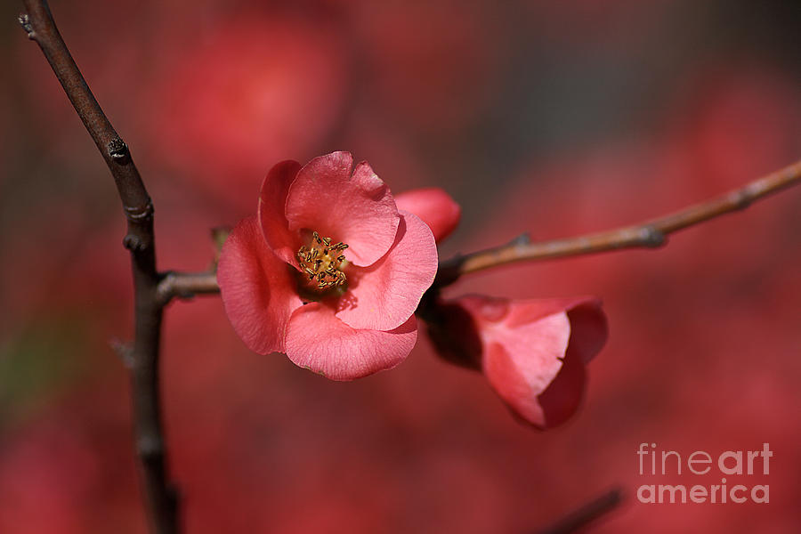 Spring Richness - Flowering Quince Photograph