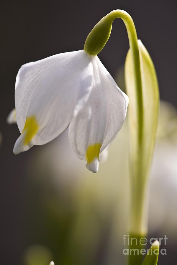 Spring Snowflake Photograph