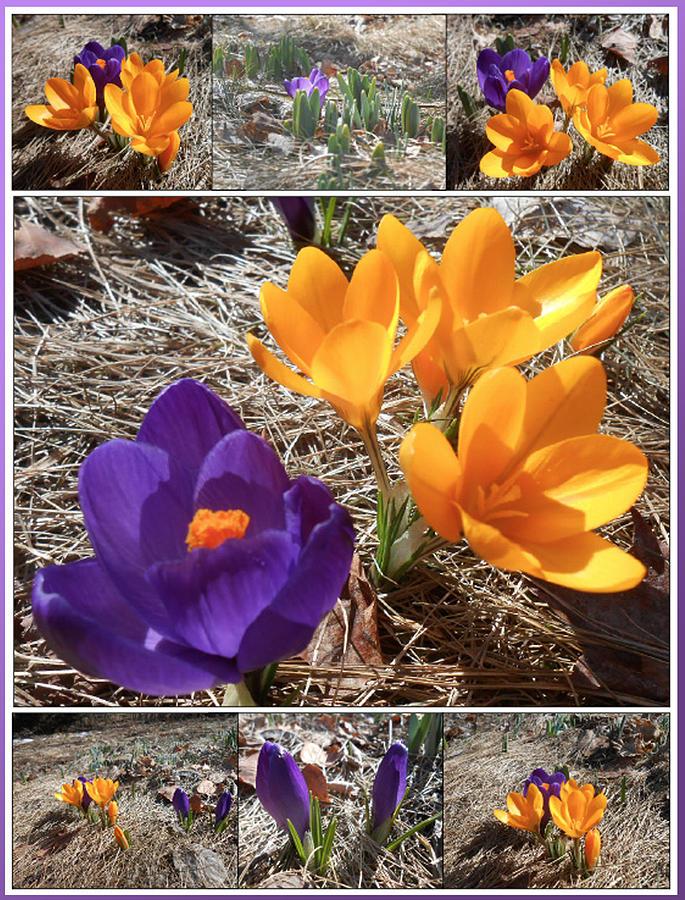 Purple Photograph - Spring Time Crocuses by Patricia Keller