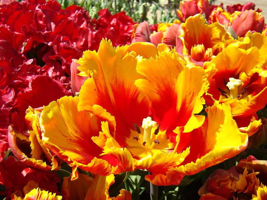 Spring Tulip Flowers Art Prints Yellow Red Tulip Photograph