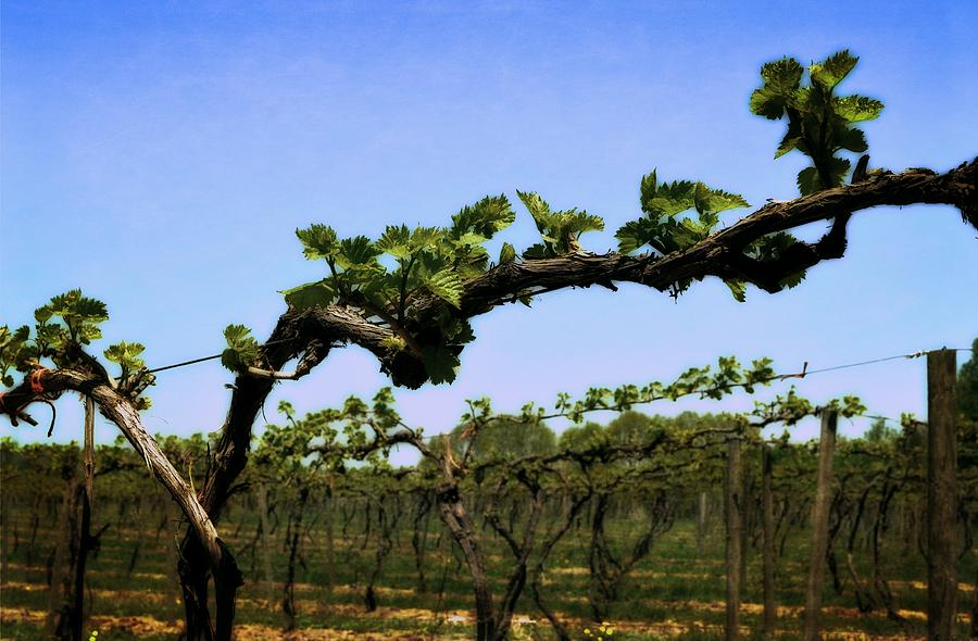 Spring Vineyard Photograph