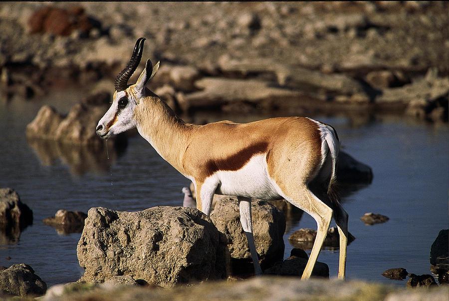 Springbok Drinking Photograph