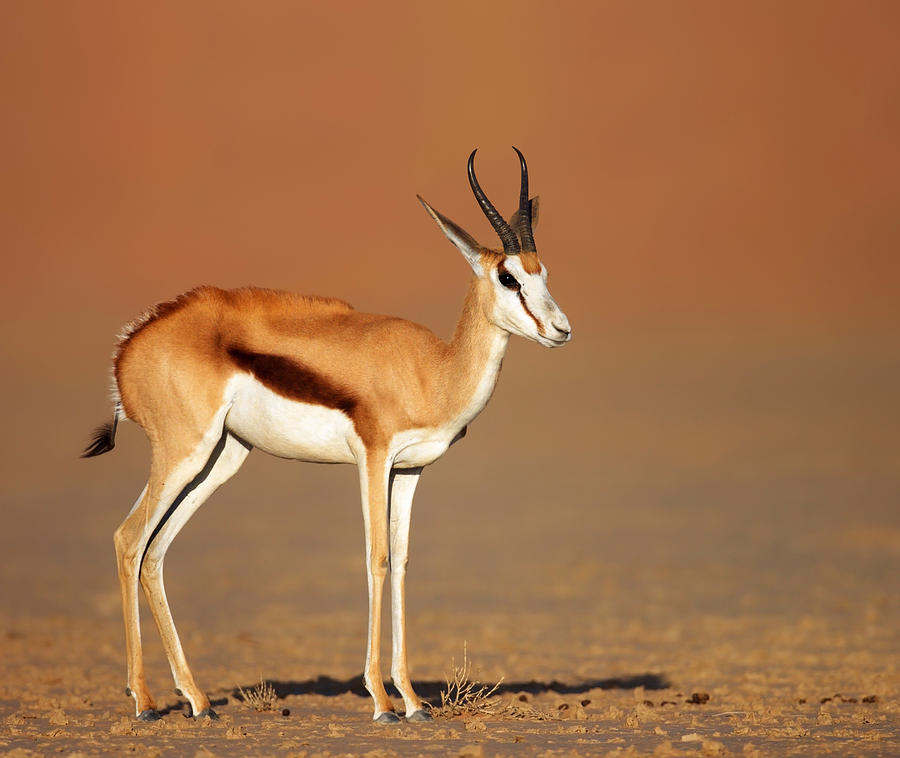 Springbok On Sandy Desert Plains Photograph