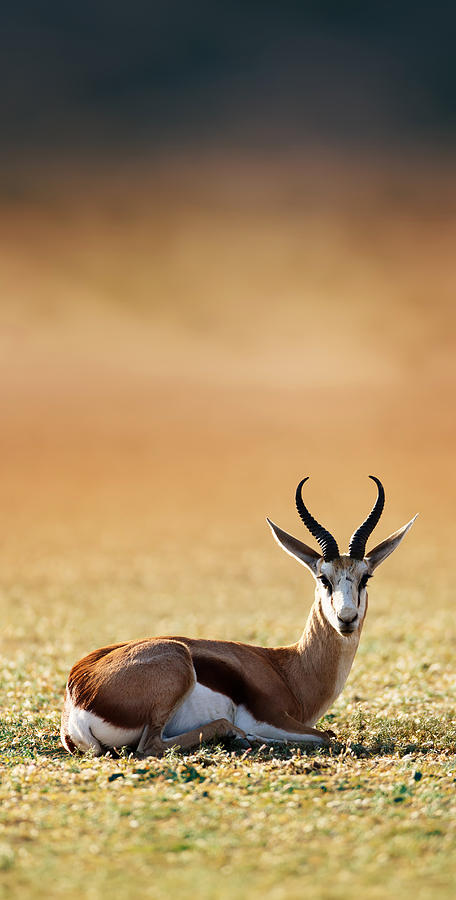 Springbok Resting On Green Desert Grass Photograph