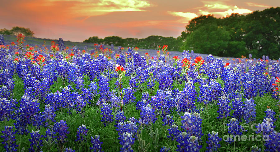 Spring Photograph - Springtime Sunset In Texas - Texas Bluebonnet Wildflowers Landscape Flowers Paintbrush by Jon Holiday