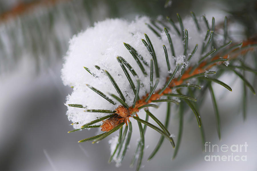 Spruce Branch With Snow Photograph