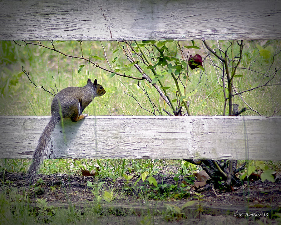 Squirrel And Rosebush Photograph