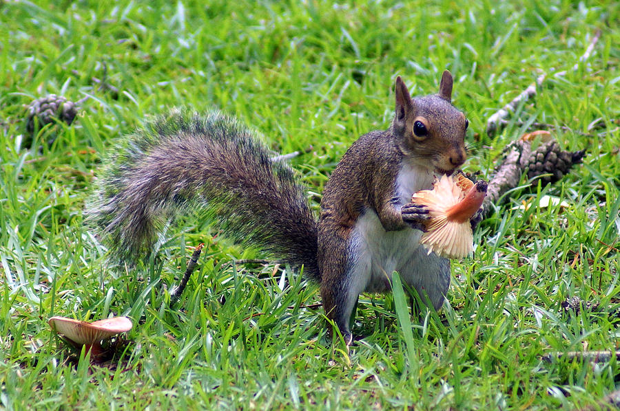 Squirrel Eating A Mushroom On The Ground Nice Photograph - Squirrel Eats Mushroom by Kim Pate