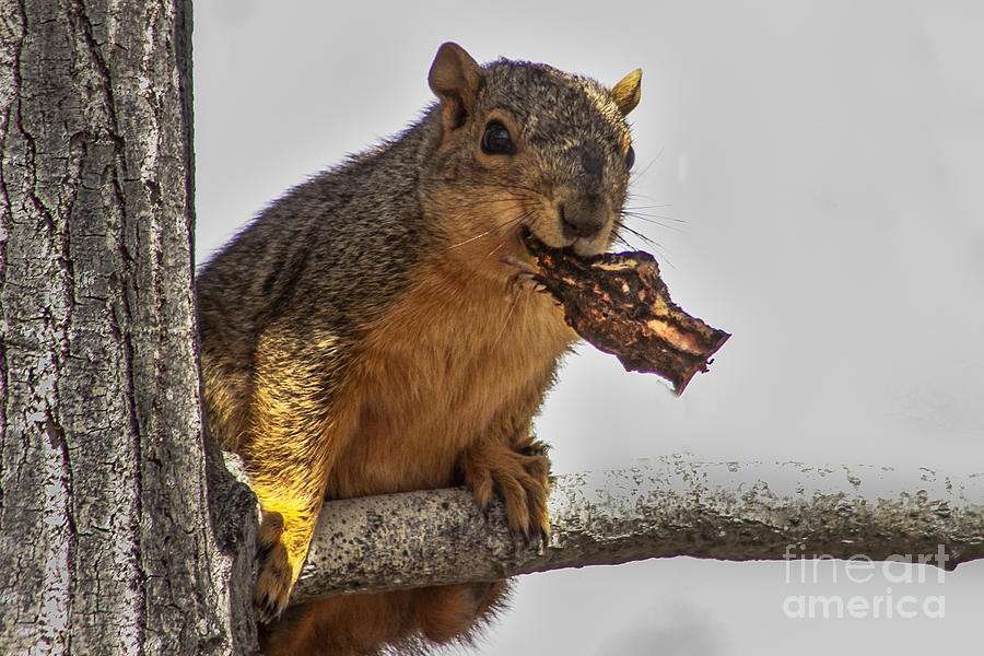 Squirrel Lunch Time Photograph  - Squirrel Lunch Time Fine Art Print
