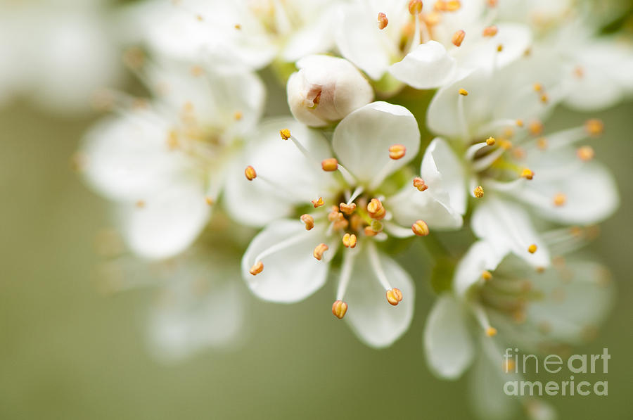 Close Up Photograph - St Lucie Cherry Blossom by Anne Gilbert