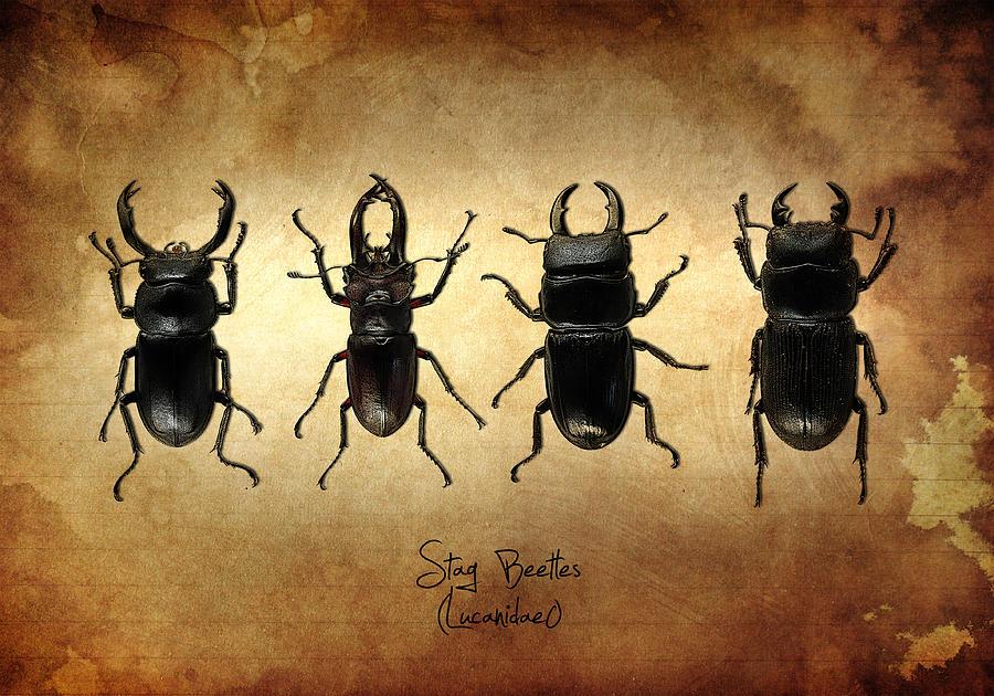 Stag Beetles Photograph - Stag Beetles by Mark Rogan