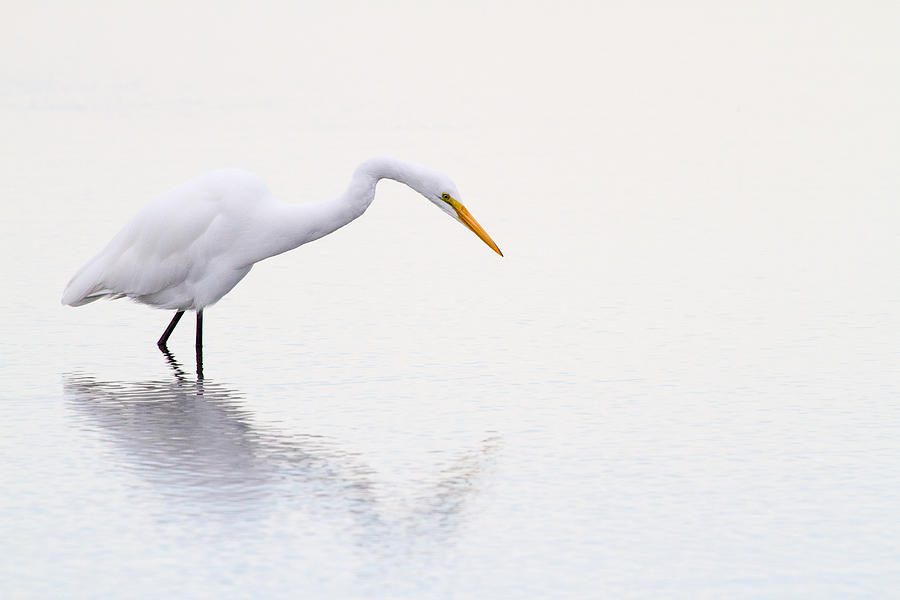Stalking Egret Photograph