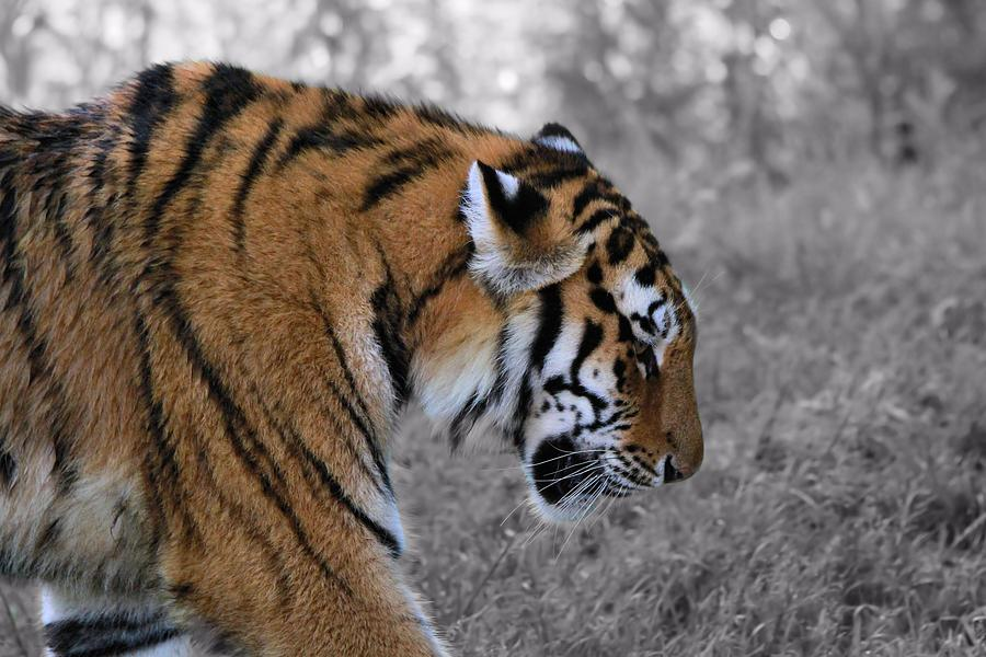 The Tiger Photograph - Stalking Tiger by Dan Sproul