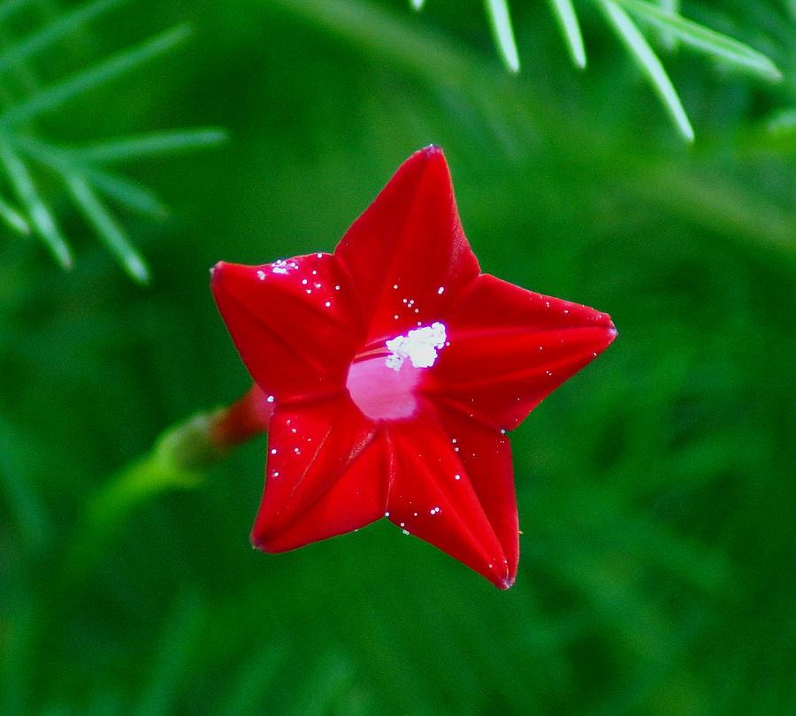 Ipomoea Quamoclit Photograph - Star Glory by Kim Pate