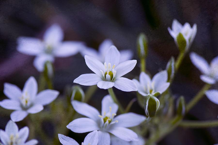 Star Of Bethlehem - Vandusen Botanical Garden Photograph