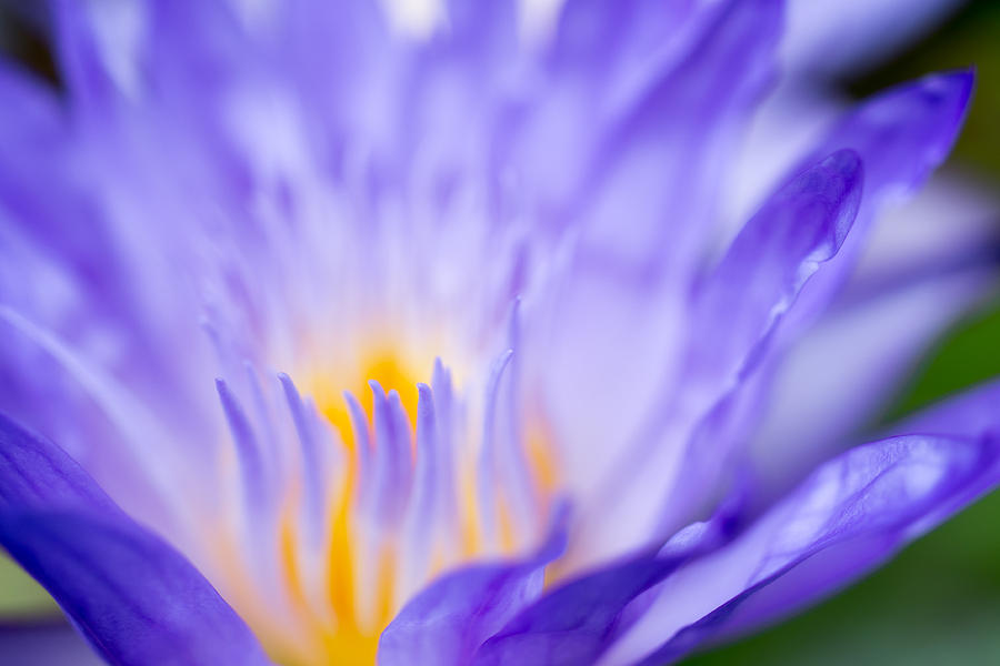 Star Of Siam Waterlily Photograph  - Star Of Siam Waterlily Fine Art Print