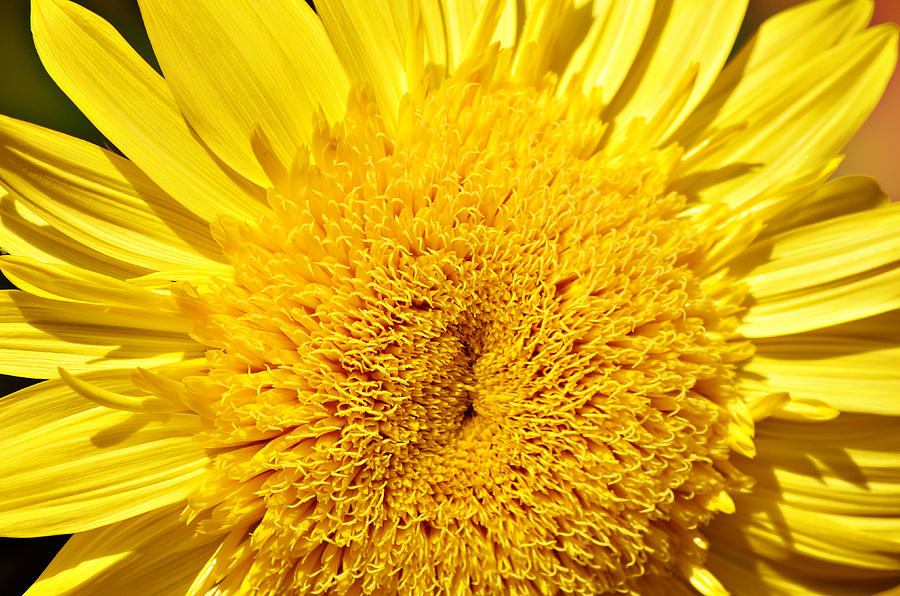 Starburst Lemon Aura Sunflower Photograph - Starburst Lemon Aura by Julie Palencia