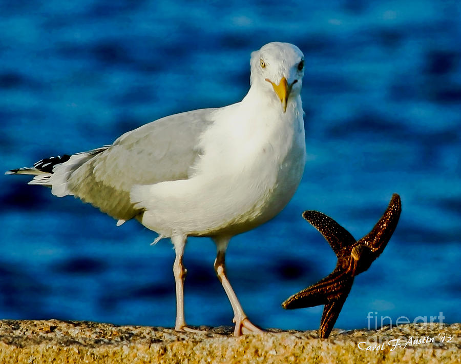 Starfish And Seagull Dance On The Rocks Photograph