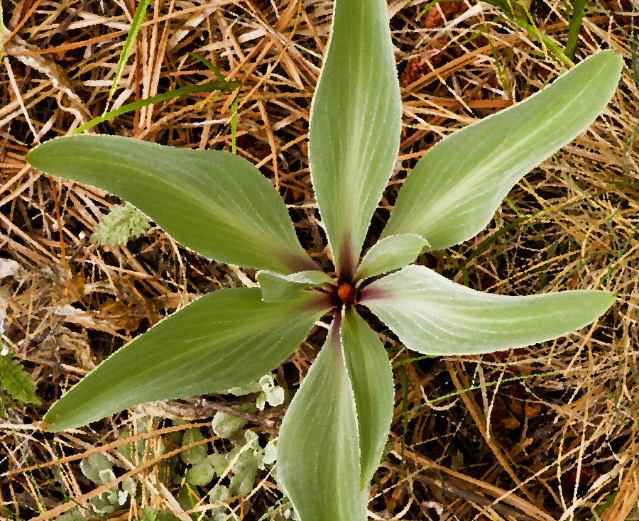 Starfish Plant Photograph