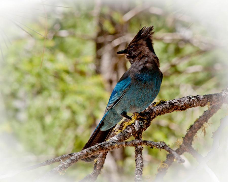 Stellar Jay Photograph - Stellar Jay by Bill Gallagher