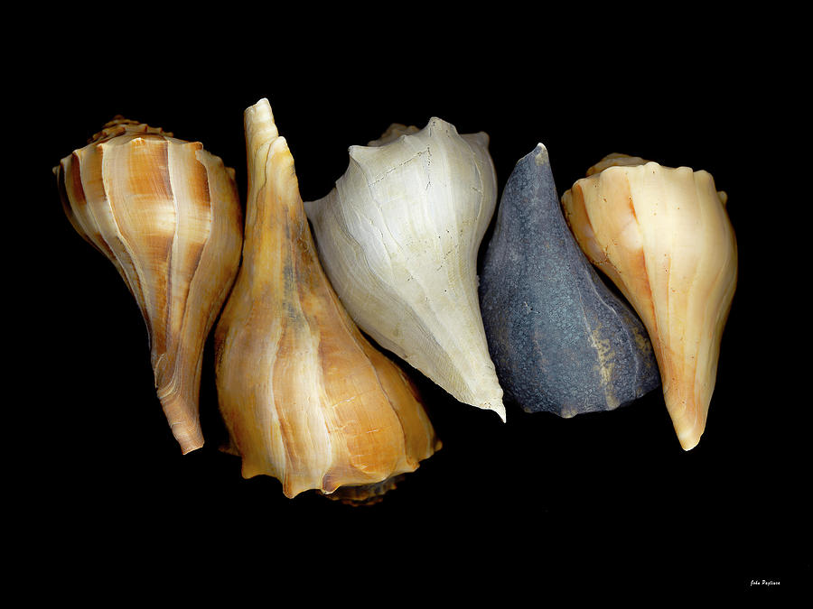 Still Life With Five Whelk Shells Photograph  - Still Life With Five Whelk Shells Fine Art Print
