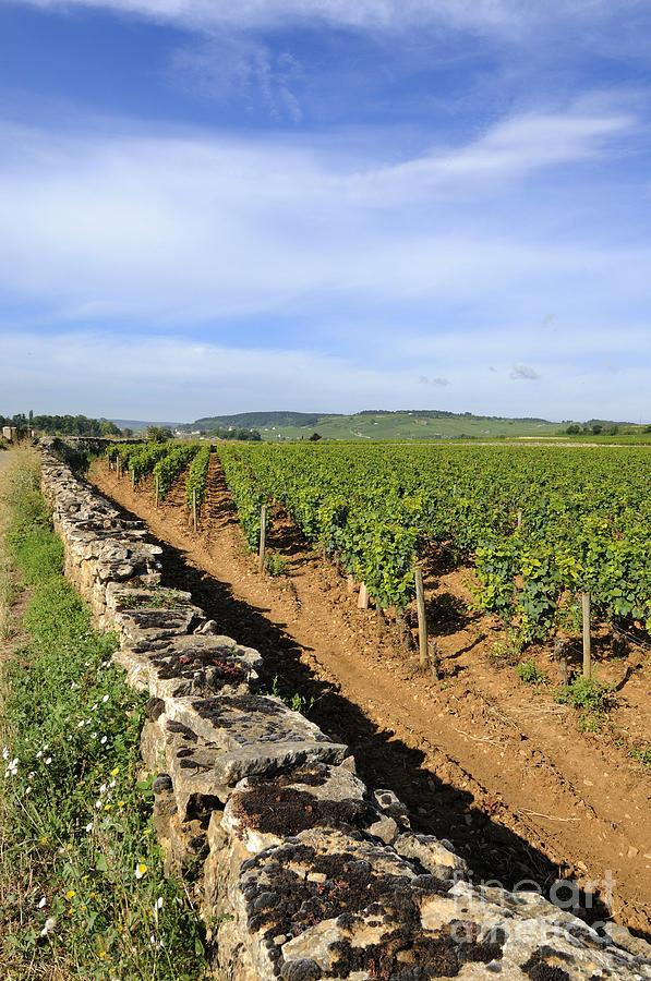 Agricultural   Photograph - Stone Wall. Vineyard. Cote De Beaune. Burgundy. France. Europe by Bernard Jaubert