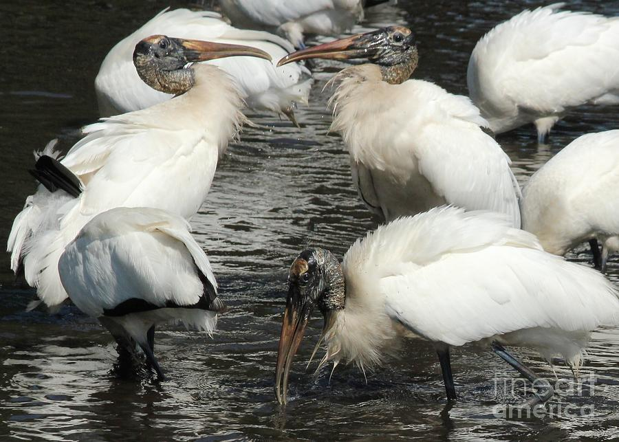Stork Flock Photograph