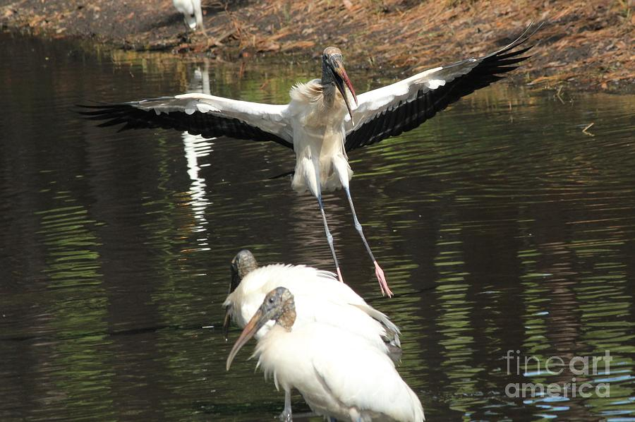 Stork Landing Photograph