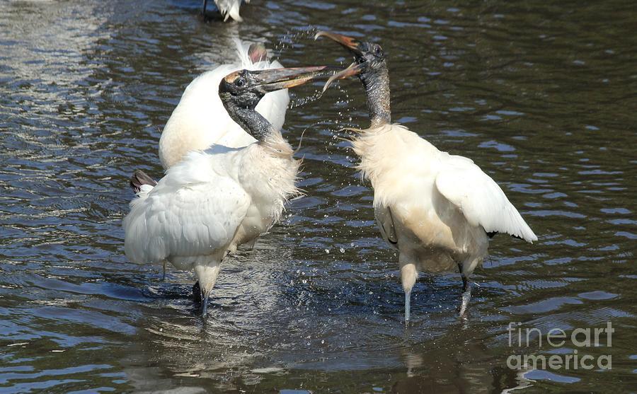 Storks Photograph - Stork Squabble by Theresa Willingham