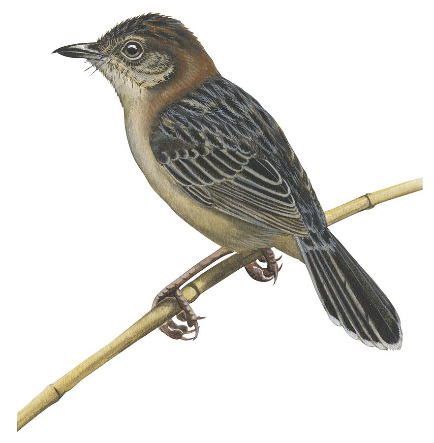 Stout Cisticola Drawing