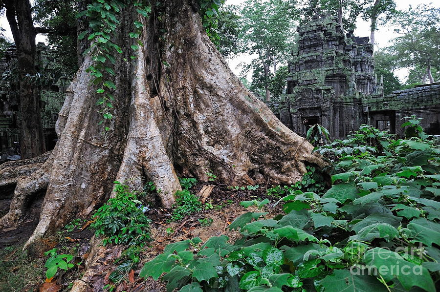 Strangler Fig Tree Roots On The Ancient Preah Khan Temple Photograph