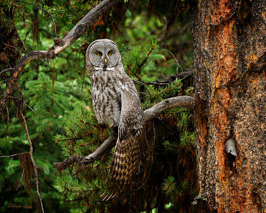 Owl Photograph - Stretch by Christopher Balmer