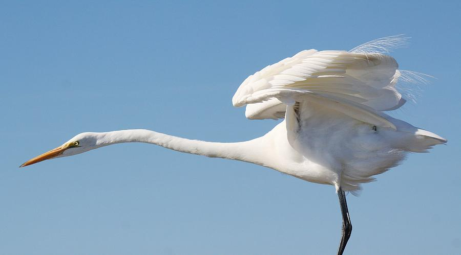 Great White Egret Photograph - Stretching Out by Paulette Thomas