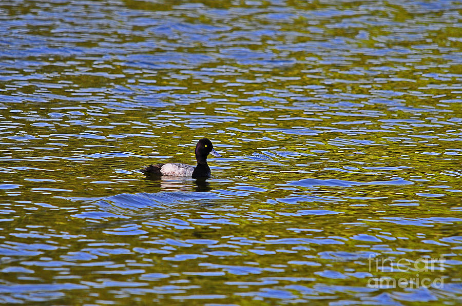 Striking Scaup Photograph  - Striking Scaup Fine Art Print