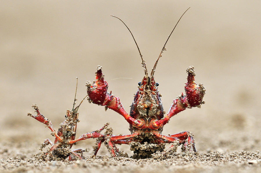 Striped Crayfish Orconectes Limosus Photograph  - Striped Crayfish Orconectes Limosus Fine Art Print