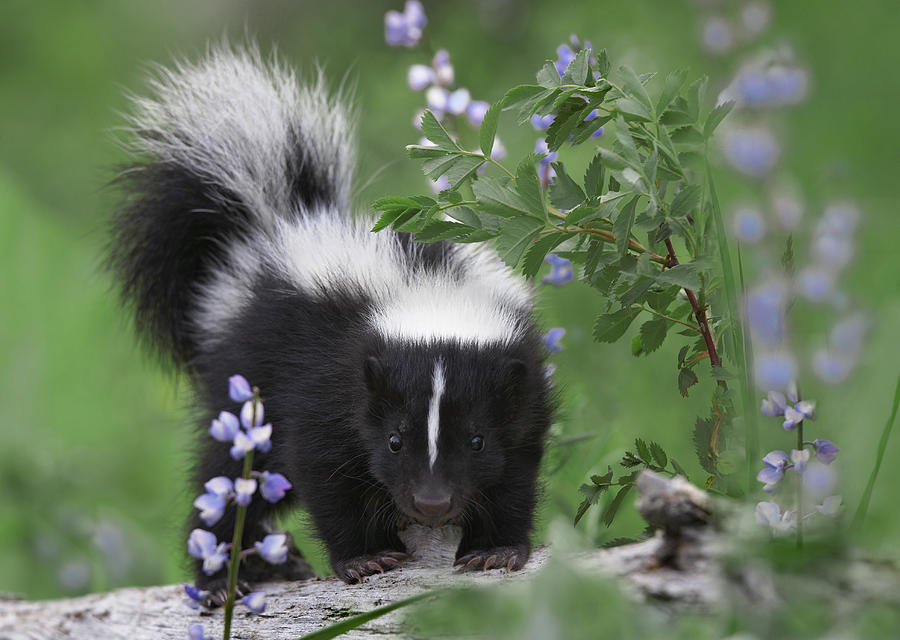 Striped Skunk Kit Photograph By Tim Fitzharris
