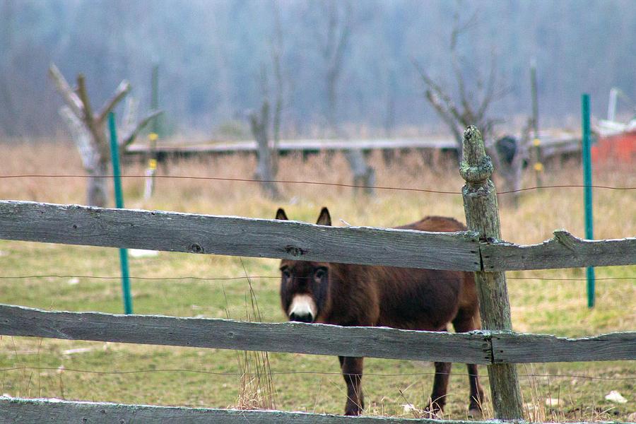 Borro Photograph - Stubborn As A Mule by Rhonda Humphreys