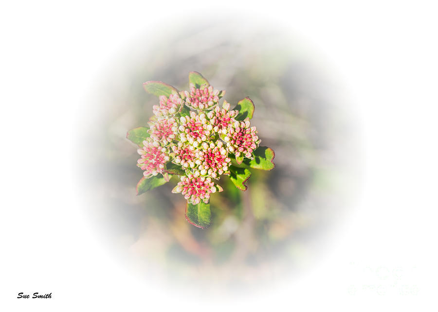Sulphur-flower Buckwheat Photograph  - Sulphur-flower Buckwheat Fine Art Print