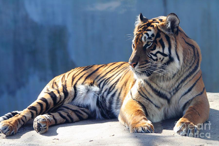Sumatran Tiger 7d27276 Photograph