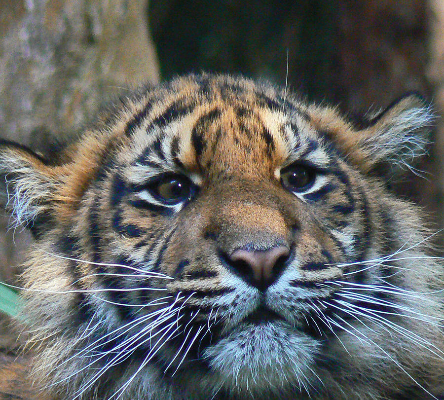 Sumatran Tiger Cub On Alert Photograph  - Sumatran Tiger Cub On Alert Fine Art Print