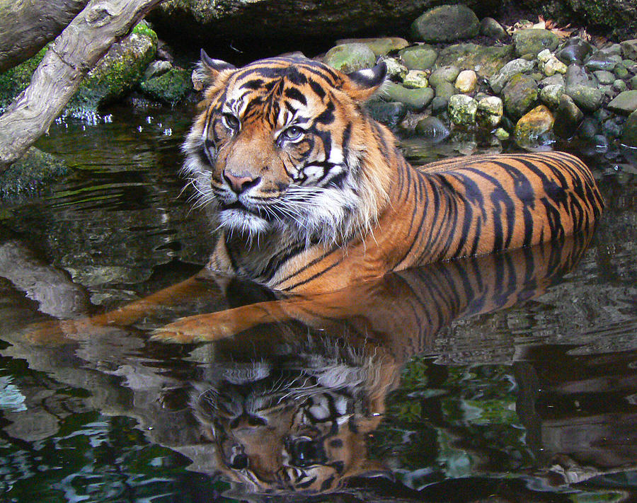 Sumatran Tiger Keeping Cool In Summer Photograph