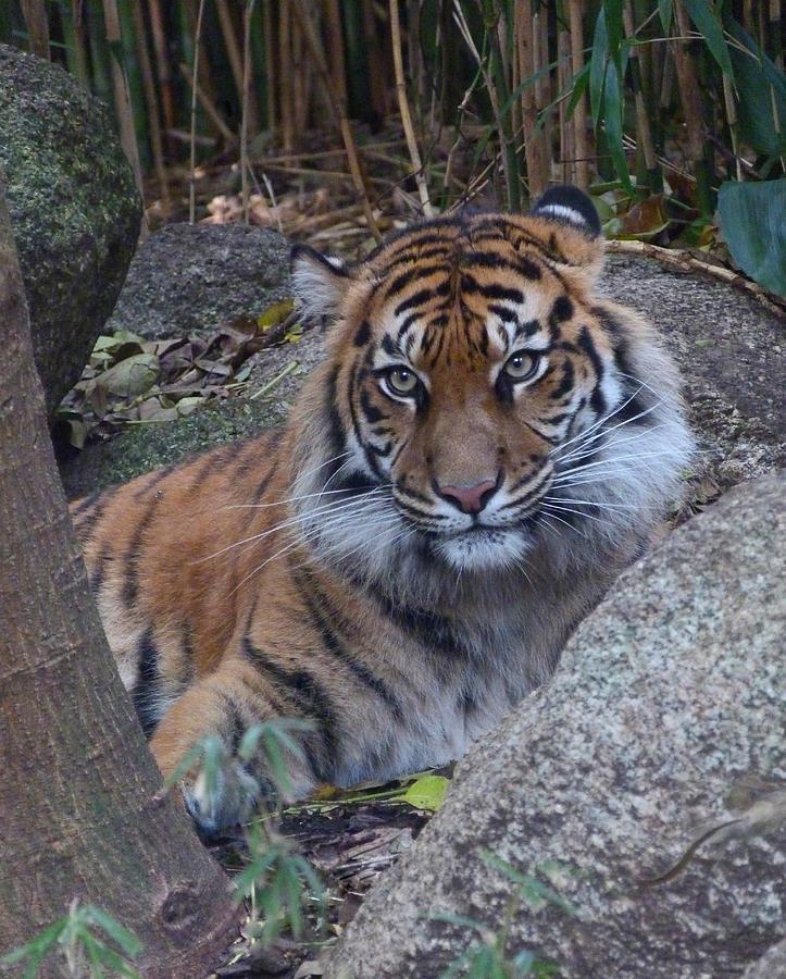 Sumatran Tiger Relaxing Photograph
