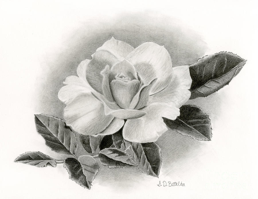 Summer Rose is a drawing by Sarah Batalka which was uploaded on July ...